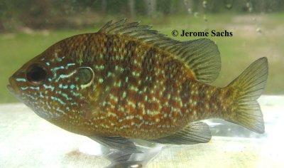 Dollar Sunfish