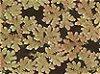 Azolla caroliniana Freshwater Plant