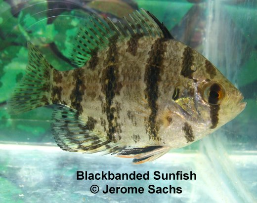 Blackbanded Sunfish
