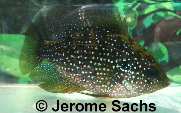 Bluespotted Sunfish for sale at Sachs Systems Aquaculture.