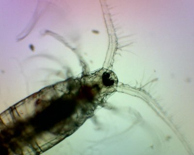 Salt Water Copepods