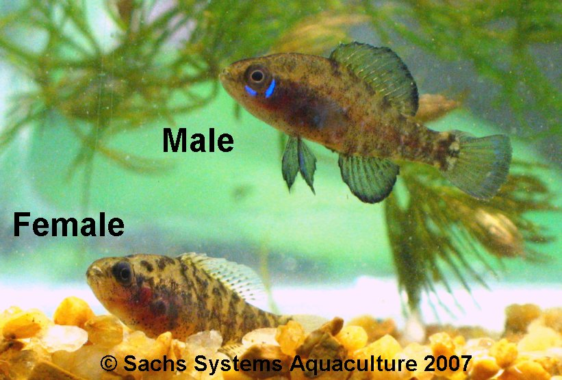 Okefenokee Pygmy Sunfish for Sale at Sachs Systems