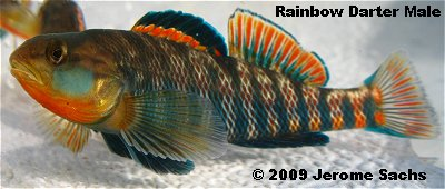 Rainbow Darter