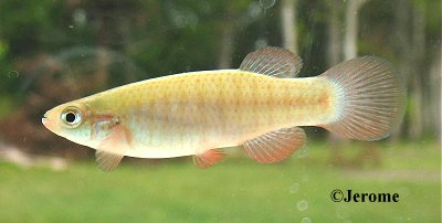 Russetfin Topminnow