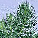 Hornwort Freshwater Plant