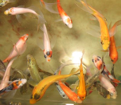 Koi for sale at sachs systems aquaculture for Small koi for sale