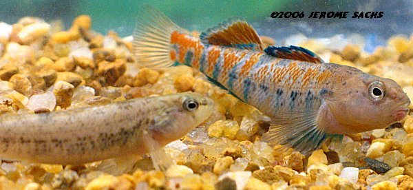 Orangethroat Darter for sale at Sachs Systems Aquaculture
