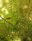 Freshwater Christmas Moss