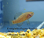 Everglades Pygmy Sunfish