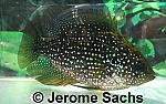 Bluespotted Sunfish