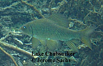 Lake Chubsucker