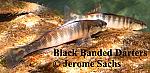 Black Banded Darter