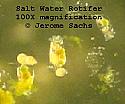 Saltwater Rotifers