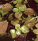 Red Ludwigia Freshwater Plant