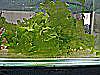 Water Lettuce Freshwater Plant