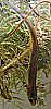 Peninsular Newt