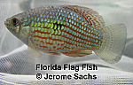 Florida Flag Fish