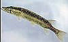 Grass Pickerel